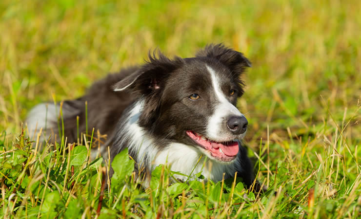 Border Collie: a raça mais inteligente do mundo